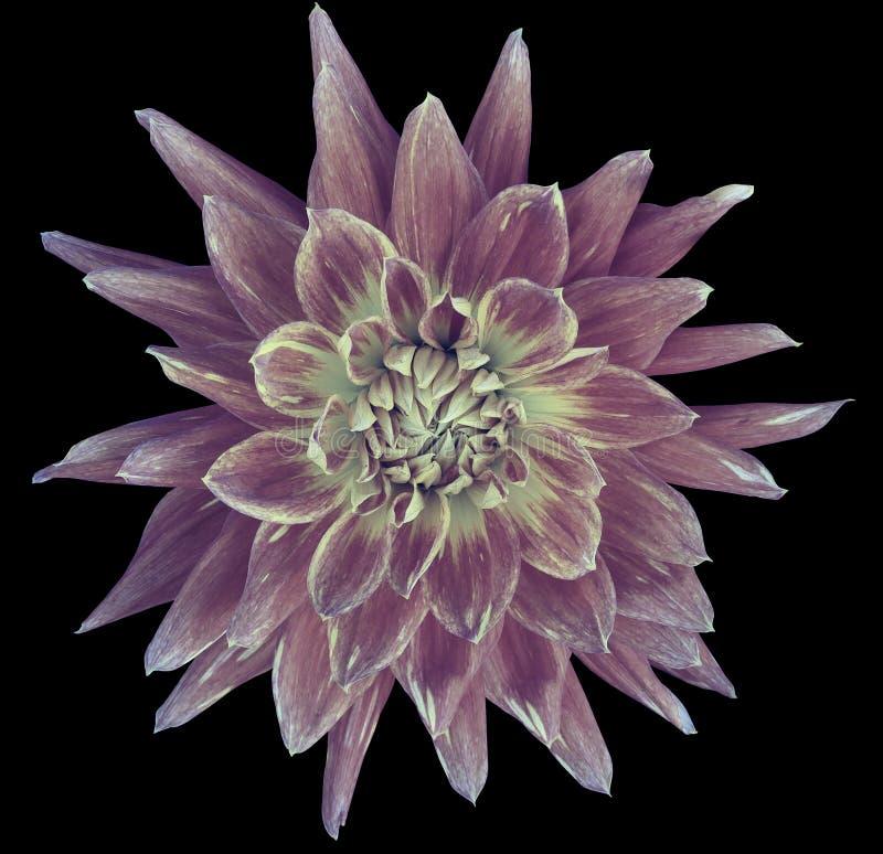 大丽花茄子白的花,黑背景隔绝与裁减路线 特写镜头 没有阴影 巨大,被察觉的,尖刻的f 图库摄影