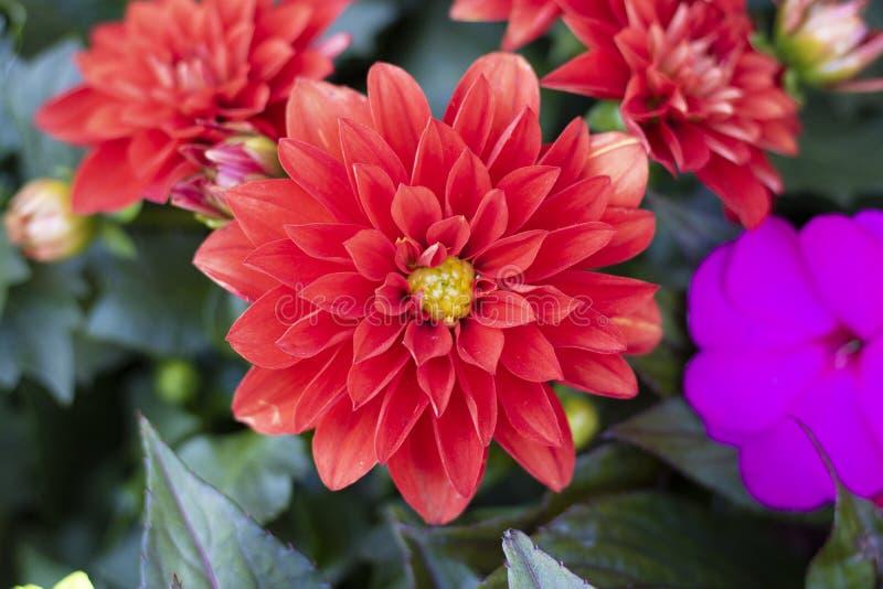 大丽花pinnata花特写镜头  拉扯从上面 叶子是紫色和黄色的在颜色 库存图片
