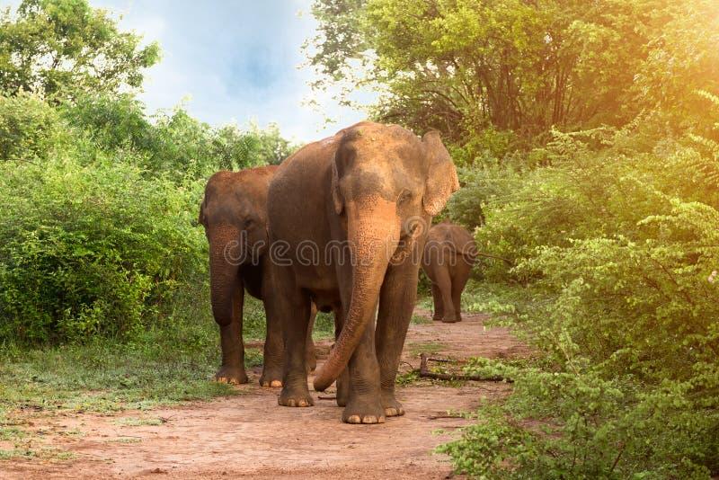大亚洲大象在Udawalawe国家公园,斯里兰卡 免版税库存照片