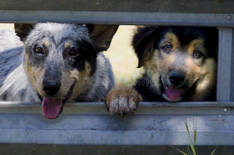 大农场在畜栏门的狗小狗 免版税图库摄影