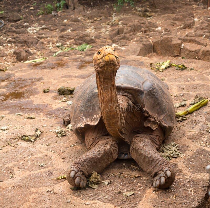 大加拉帕戈斯巨型草龟 图库摄影