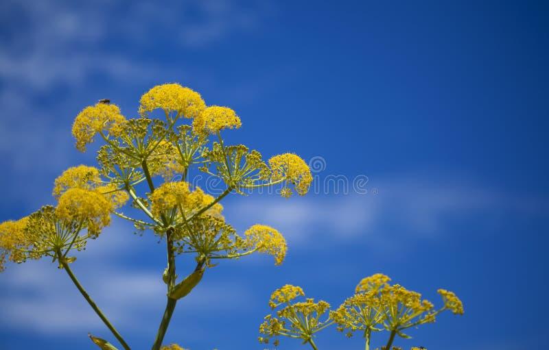 大加那利岛-大茴香linkii植物群  免版税库存图片