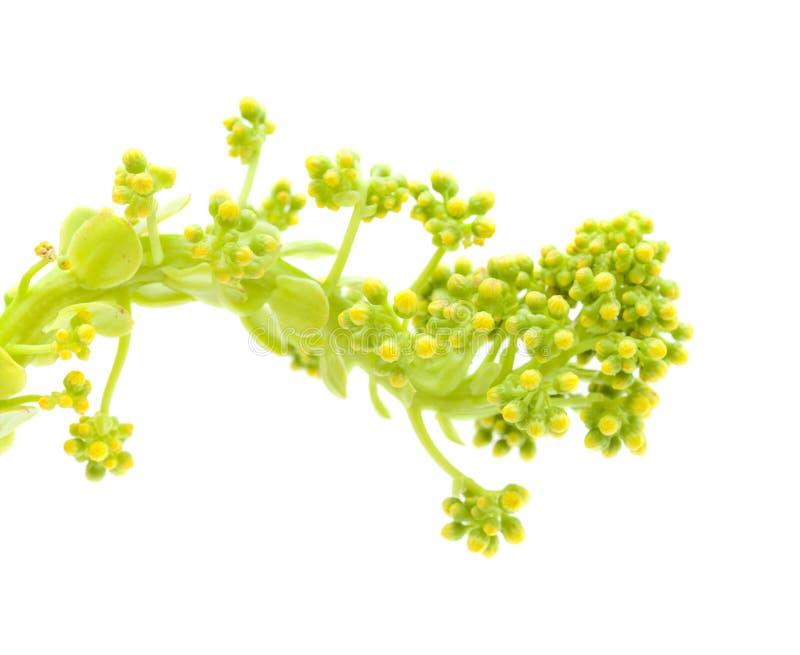 大加那利岛-永世undulatum植物群  库存照片