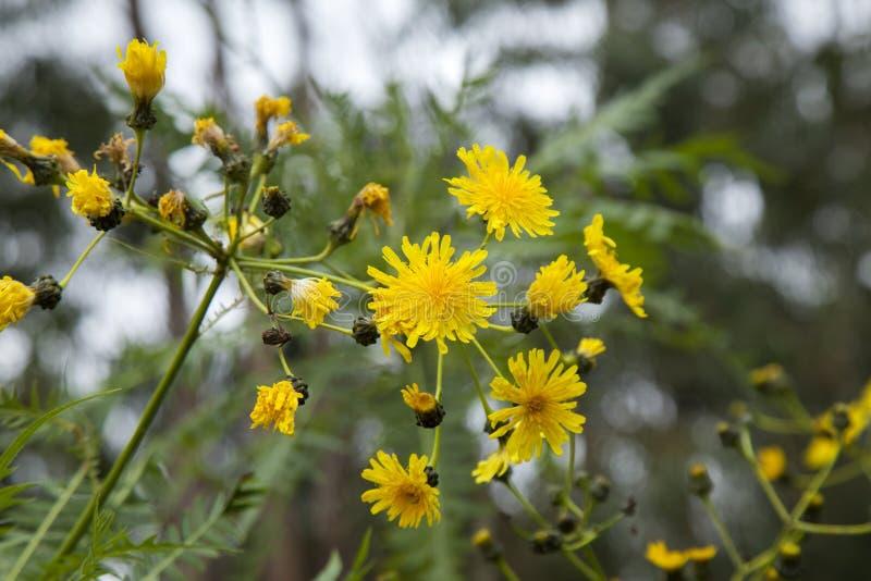 大加那利岛-苣苦菜canariensis植物群  免版税库存图片