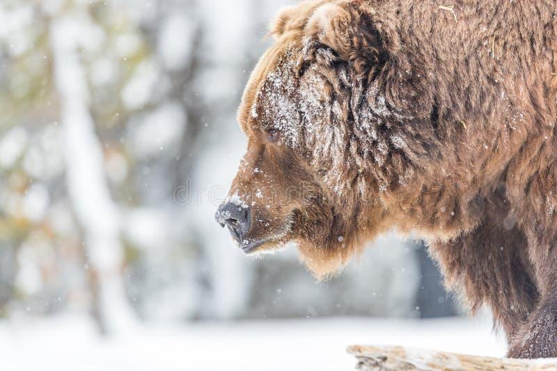 大北美灰熊特写镜头在冬天在黄石 库存照片