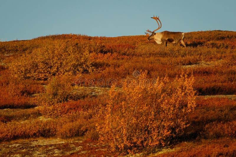 大北美驯鹿男性在秋季的,阿拉斯加蒂纳里国立公园 免版税图库摄影