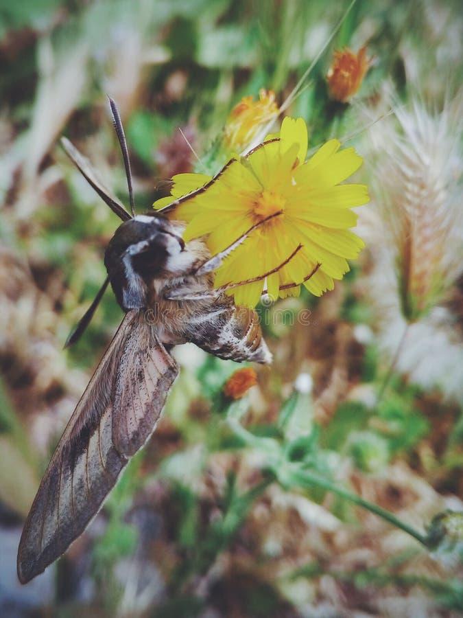 大和美丽的飞蛾 库存照片
