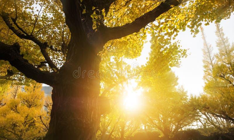 大和老银杏树树 图库摄影
