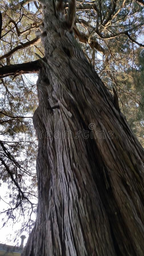 大和高大的树木 库存图片