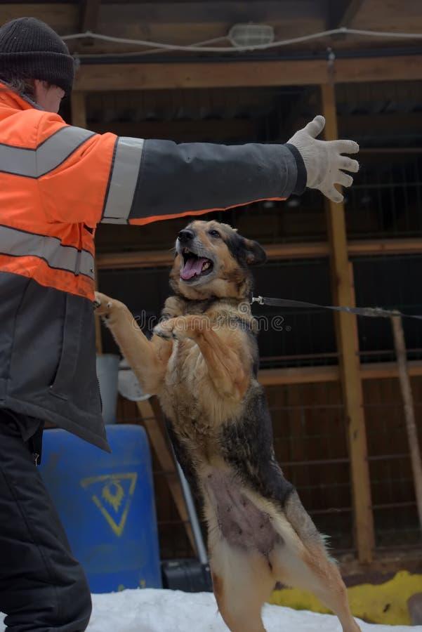 大品种流浪狗的避难所  有alabai的避难所雇员 库存图片