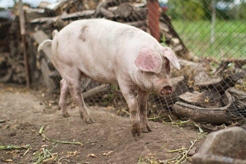 大国内养猪 库存照片