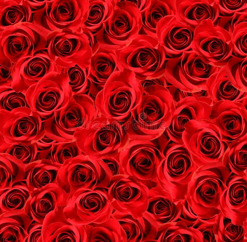 大在红色玫瑰查阅 图库摄影