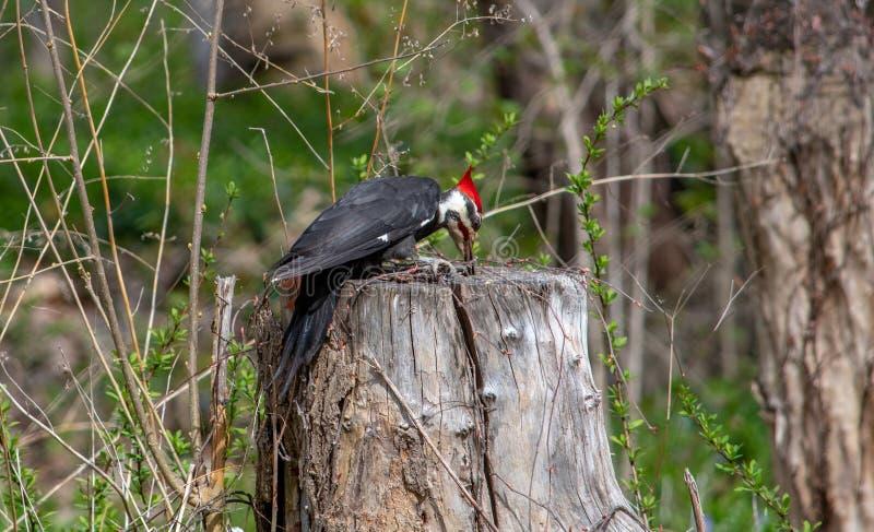 大型啄木鸟挖洞寻找食物 图库摄影