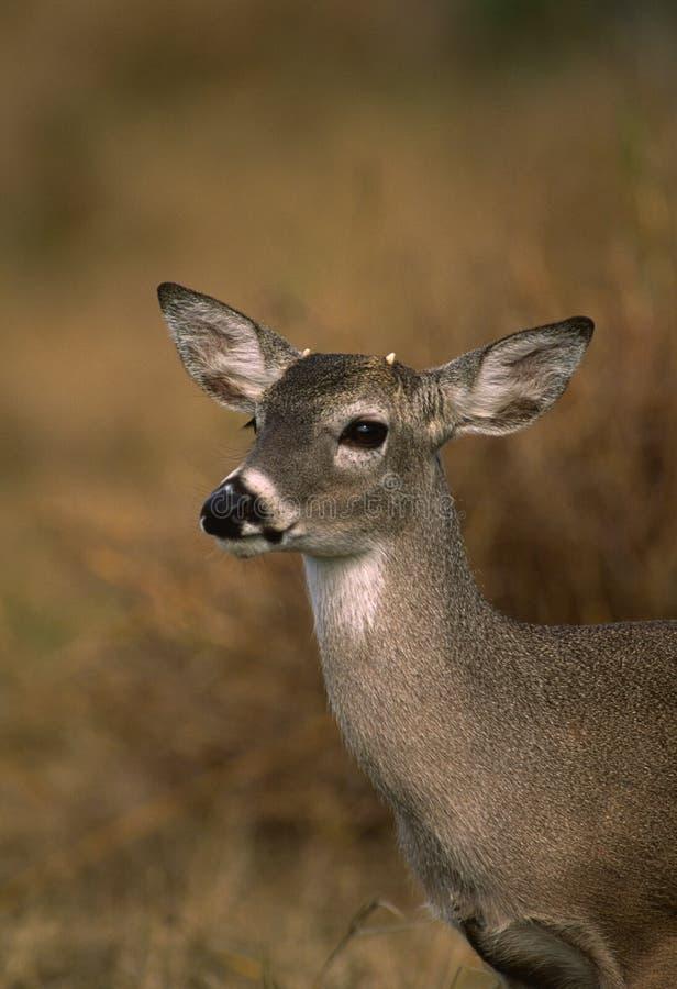 大型装配架白尾鹿年轻人 免版税图库摄影