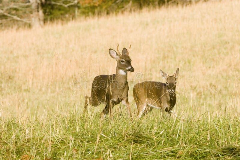 大型装配架移动二个白尾鹿年轻人 免版税库存图片