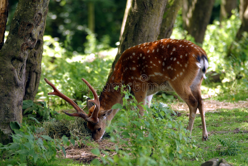 Download 大型装配架鹿 库存照片. 图片 包括有 搜索, 森林, antioch, 牛仔, 结构树, 白尾鹿, 吃草 - 183102