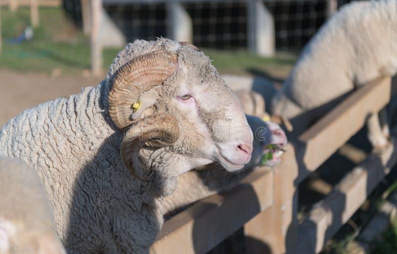 大垫铁公羊或阿尔勒美利奴绵羊 免版税图库摄影