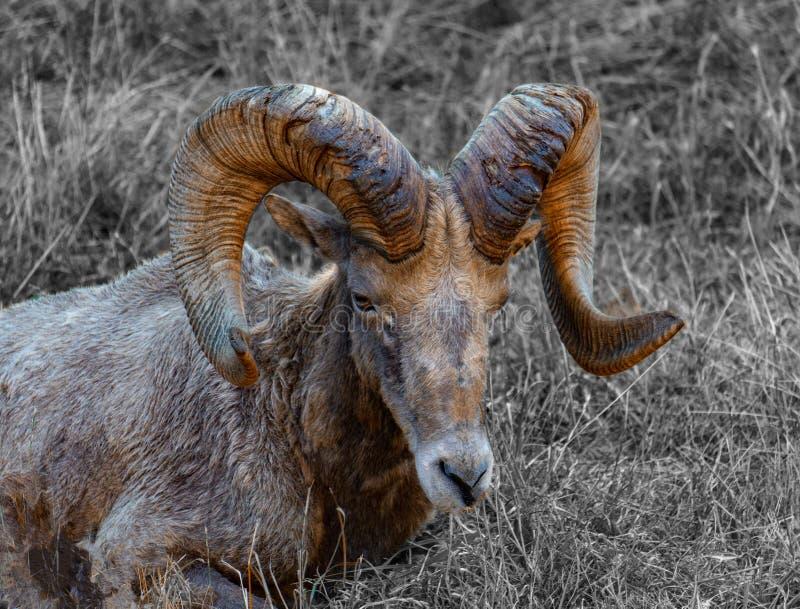 大垫铁绵羊在冬天草休息 免版税图库摄影