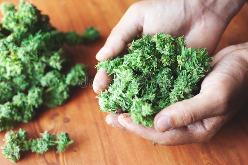 大堆被整理的和修指甲大麻芽在他们的手上 大麻合法化的概念医学用途的 免版税库存图片