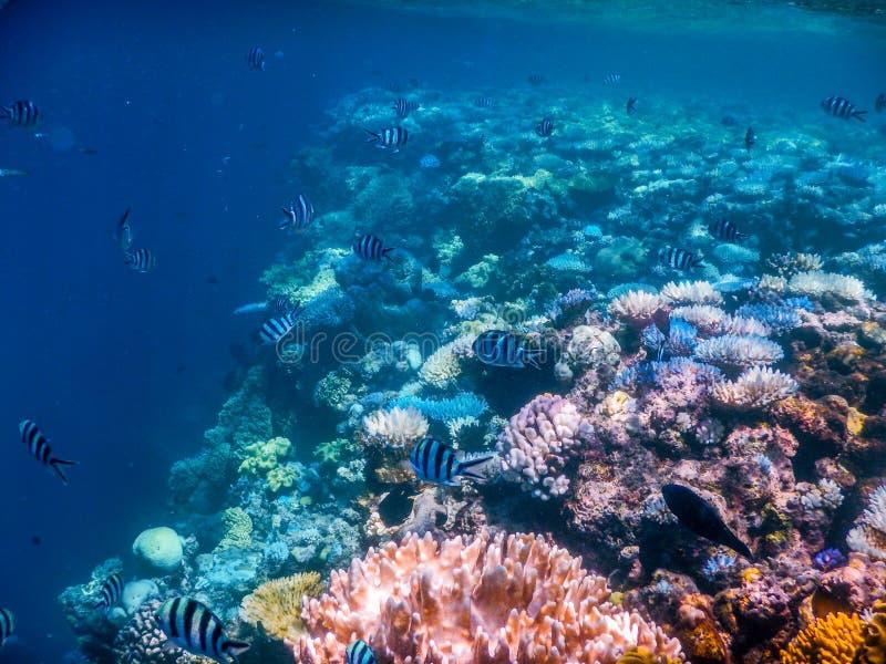 大堡礁佩戴水肺的潜水 图库摄影
