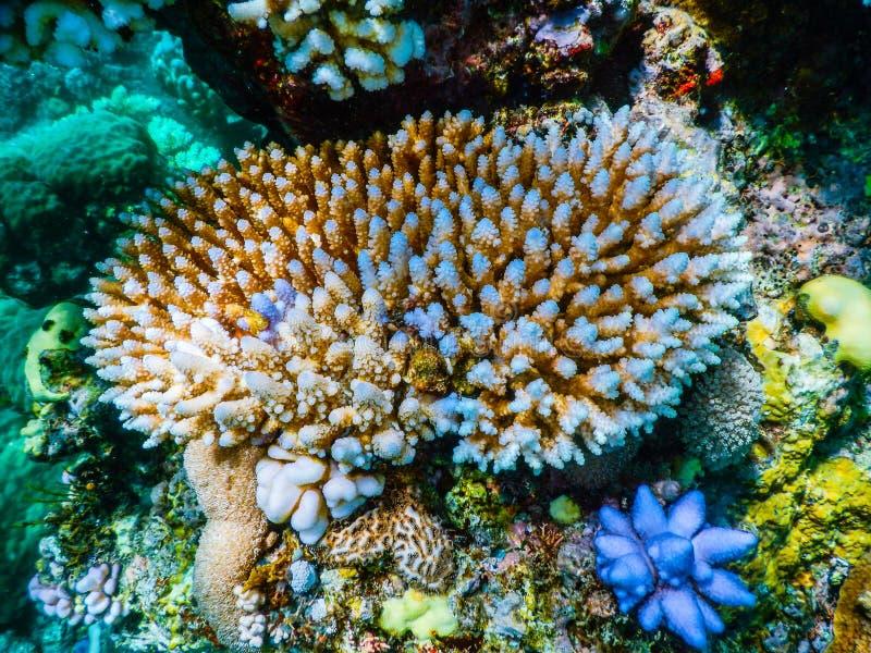 大堡礁佩戴水肺的潜水 库存照片
