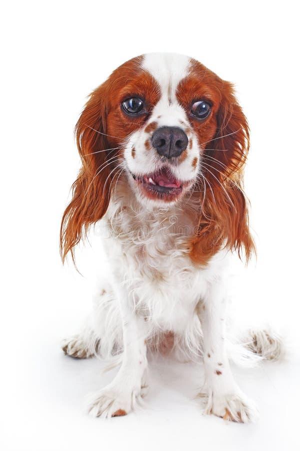 大声的狗 逗人喜爱的狗狗吠yal吠声 逗人喜爱的咆哮狗照片 库存照片