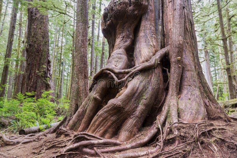 大大侧柏树干具体化凹线森林口岸兰福庐阿BC温哥华岛加拿大 免版税图库摄影