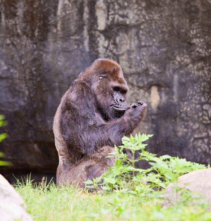 大大猩猩 免版税库存图片