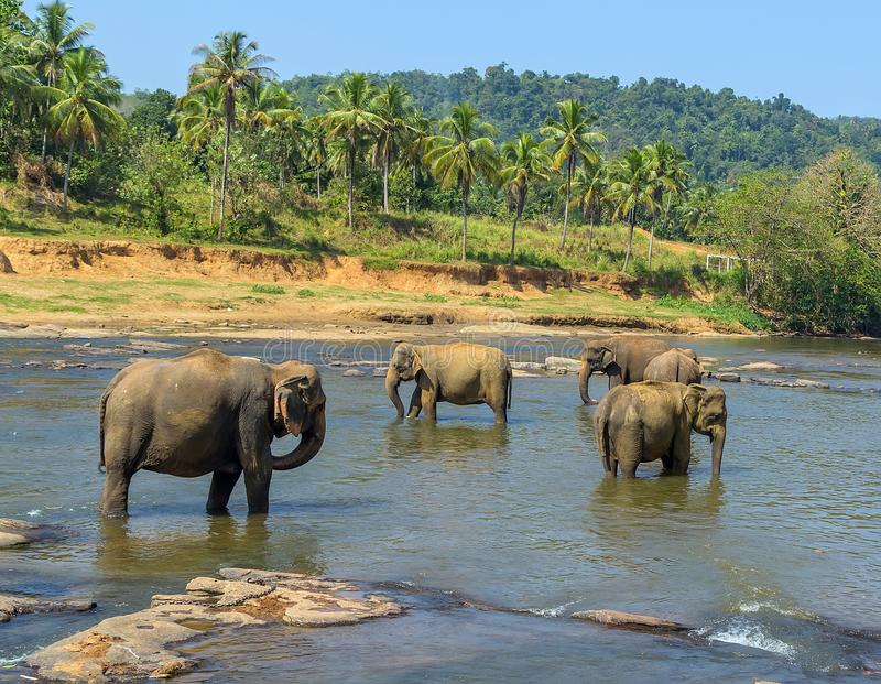 大大象牧群,游泳使用和bathin的亚洲大象 库存照片