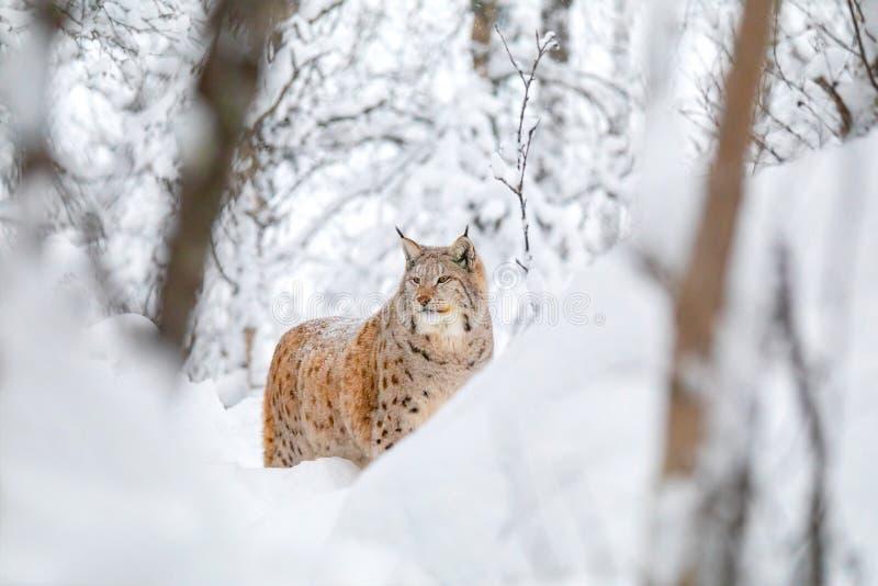 大天猫座狭窄小道在冷和壮观的冬天森林里 免版税库存图片