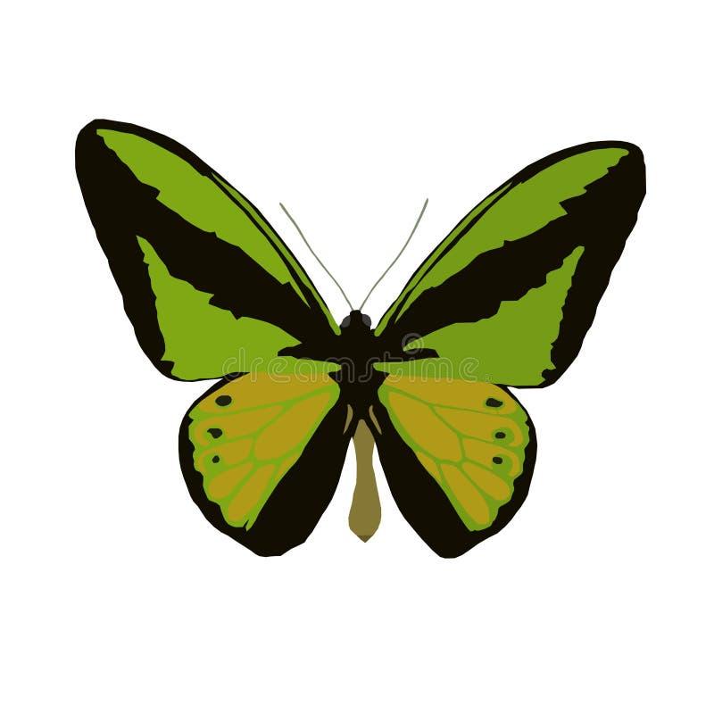 大天蝴蝶Ornithoptera巨人,在白色后面的传染媒介 库存例证