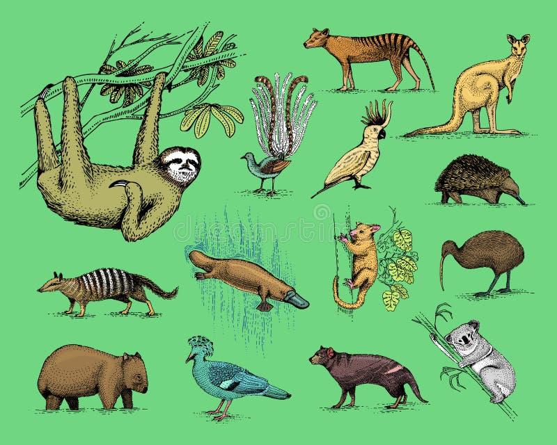 大套澳大利亚人和新西兰标志,被刻记的动物,手拉的传染媒介,画塔斯马尼亚的狼, kea的葡萄酒 库存例证