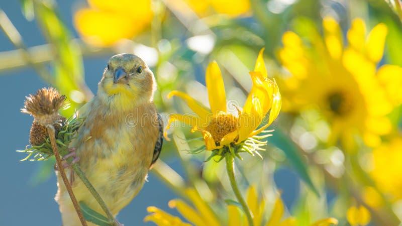 大婴孩/少年金翅雀-仍然反馈由父母-在明尼苏达河全国野生生物保护区在Bloomin 免版税库存照片
