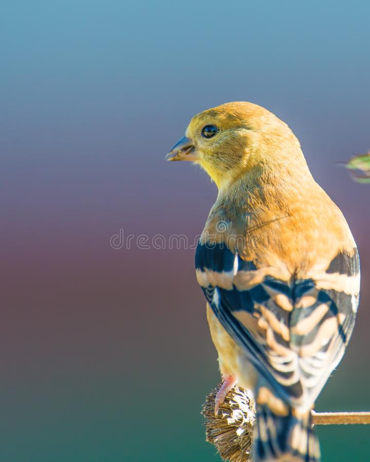 大婴孩/少年金翅雀-仍然反馈由父母-在明尼苏达河全国野生生物保护区在Bloomin 库存图片