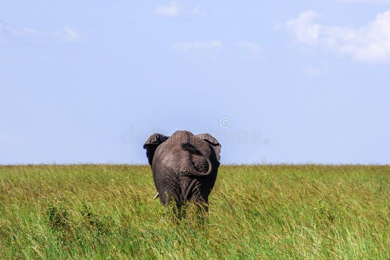 大孤独的大象在塞伦盖蒂显示在大草原的靶垛 免版税库存照片