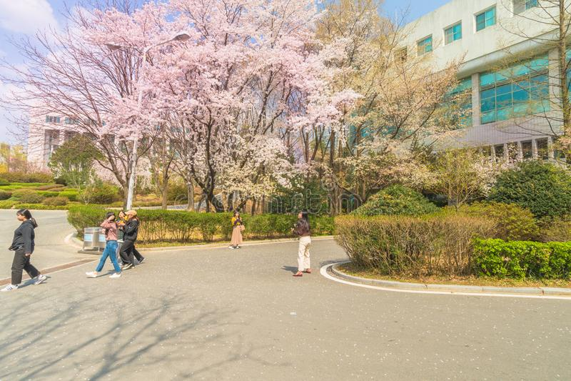 大学生拍照片在樱花树下 免版税库存图片