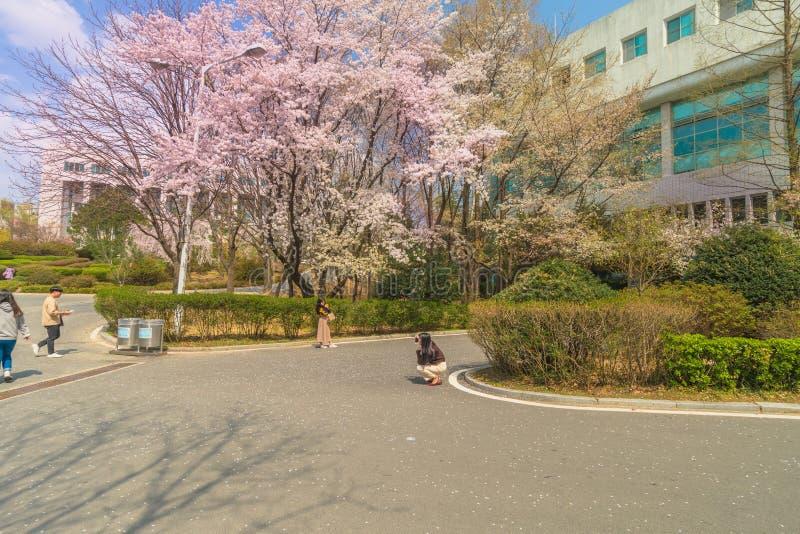 大学生拍照片在樱花树下 库存图片