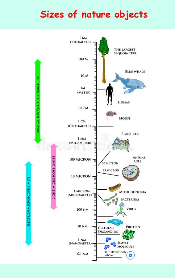 大小和维度自然对象 infographic教育的传染媒介比较自然的大小反对:最大的美国加州红杉t 向量例证
