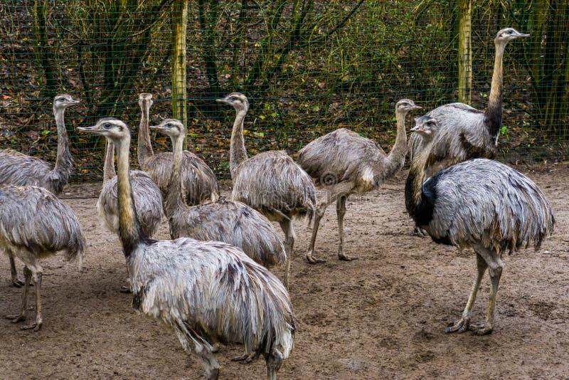 大小组一起灰色rheas,在从美国的被威胁的不能飞的鸟附近,动物家庭画象 免版税库存照片