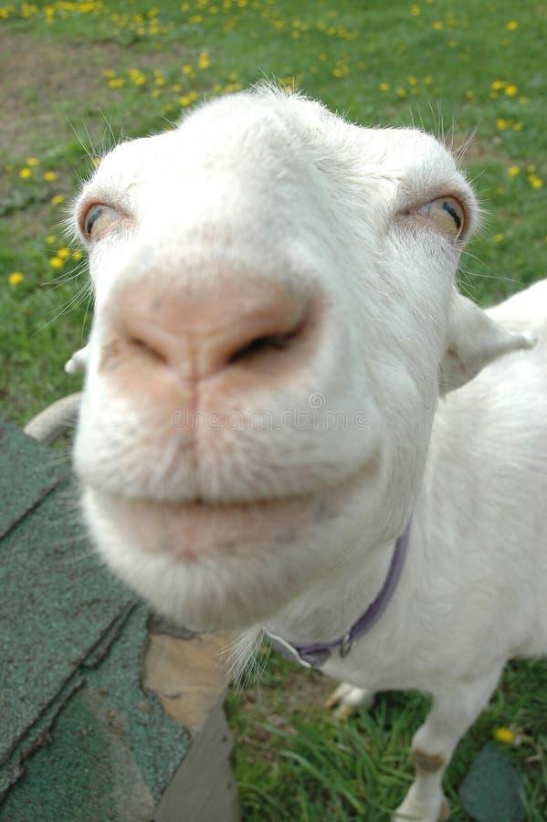 大山羊引导了 库存照片