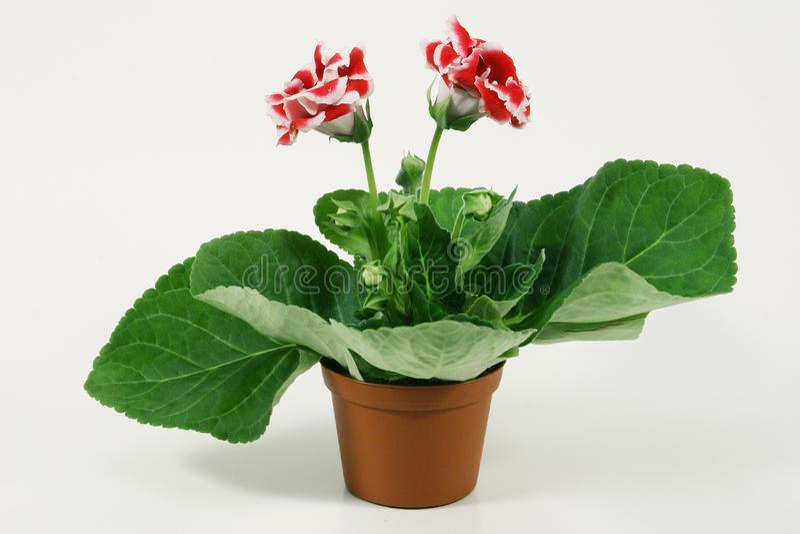 大岩桐开花的植物在花盆的 免版税库存图片