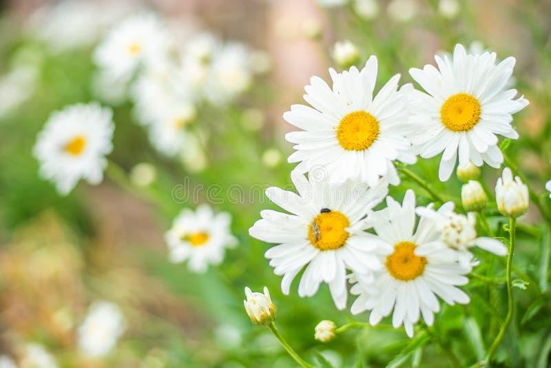 大庭院春黄菊在夏天晴朗的庭院里 免版税图库摄影