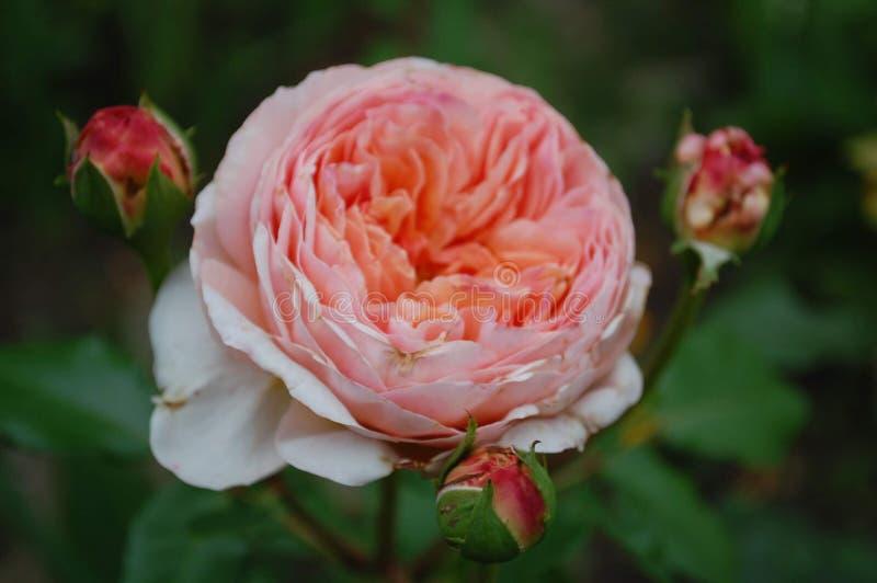大庭院特写镜头上升了与三芽的绽放 库存照片