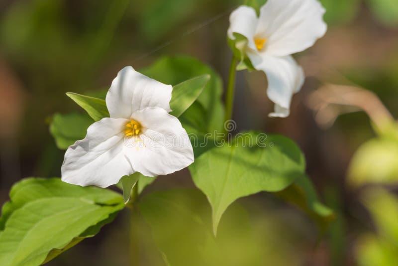 大开花的白色延龄草延龄草grandiflorum的白色瓣 库存图片