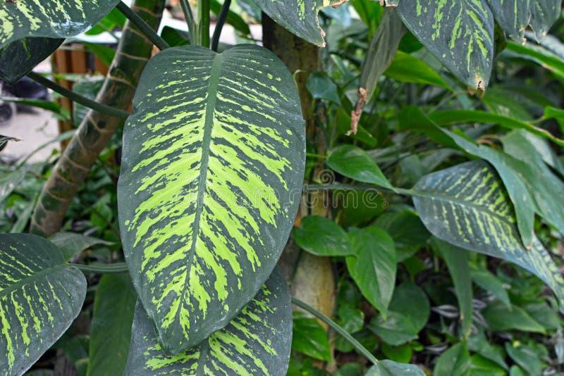 大异乎寻常的有触击的浅绿色的样式花叶万年青Seguine热带雪植物 免版税库存照片