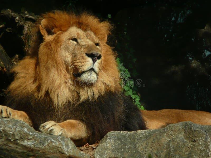 大成年男性狮子休息 免版税图库摄影