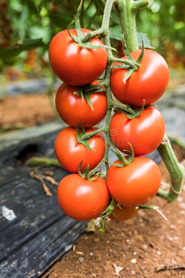 大成熟红色蕃茄自温室夏令时,特写镜头结果实垂悬在分支 免版税图库摄影