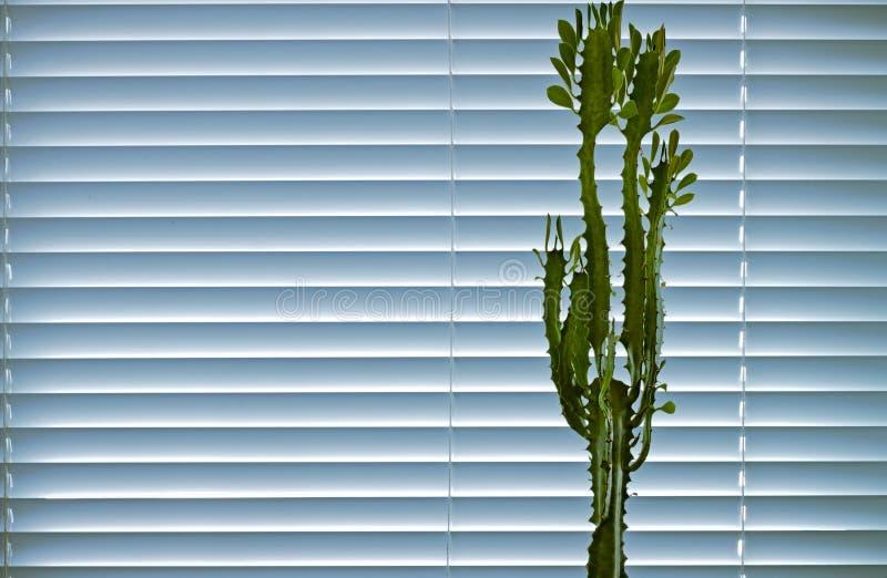 大戟属的窗口植物花费以窗帘为背景 库存图片