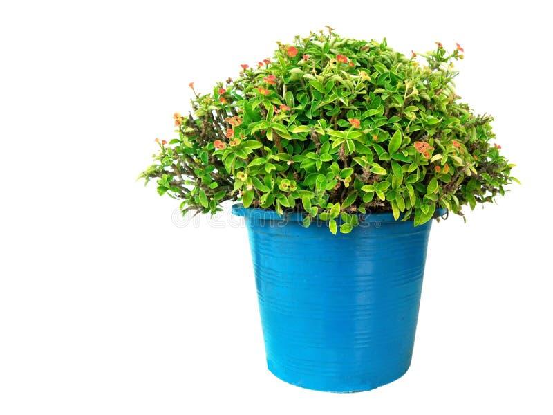 大戟属milii,基督刺植物,铁海棠,基督植物 免版税库存照片