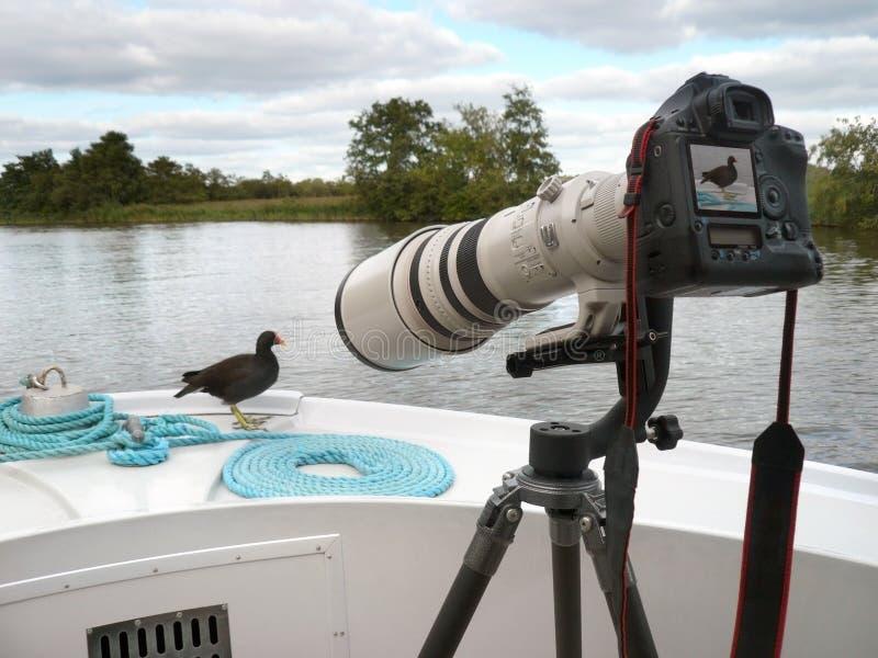 大摄象机镜头雌红松鸡 免版税库存照片